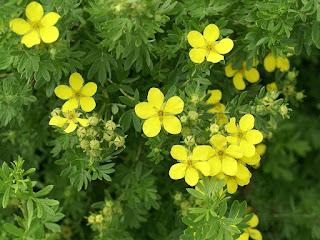 Potentilla fruticosa 'Sutter's Gold'