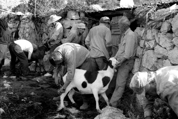 Θεσπρωτία: Το έθιμο του κουρέματος των κοπαδιών στη Θεσπρωτία...