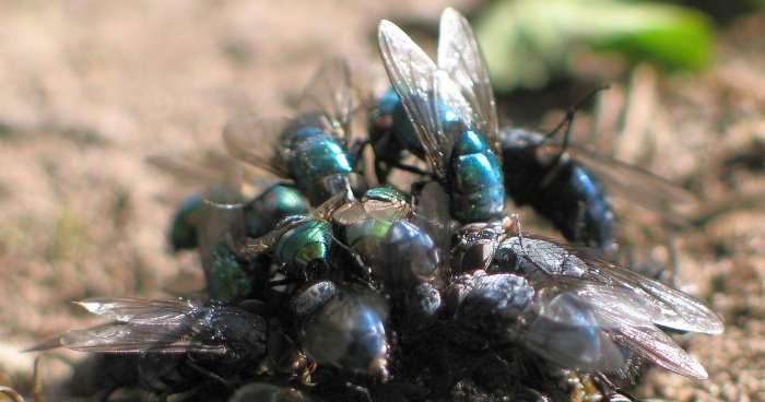 Mengapa Lalat Suka di Tempat Kotor dan Jadi Penyebar Kuman