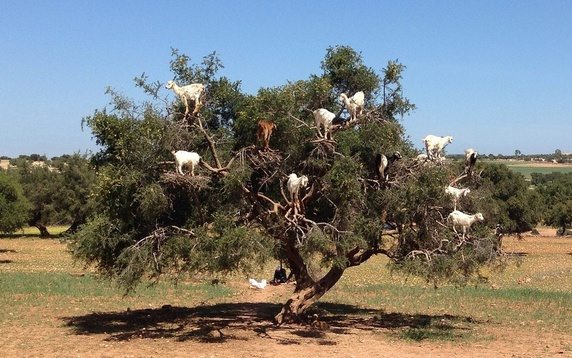 Village Tamri, Goats Climbing Trees in Morocco