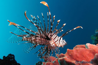 Lion Fish / Lepu