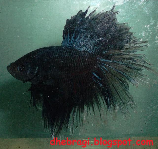 Berikut Gambar Ikan Cupang King Rose