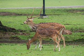 deer in Bogor Safari Park