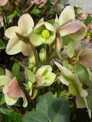 Helleborus × nigersmithii Ivory Prince Hellebore spring flowers by garden muses-not another Toronto gardening blog