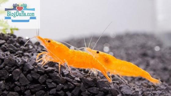 Udang hias Mandarin Shirmp