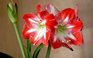 Цветок имени Алина- амариллис