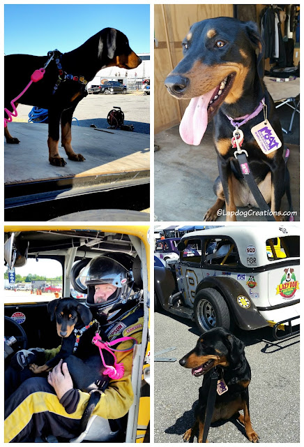 Doberman Puppy at US Legends Race