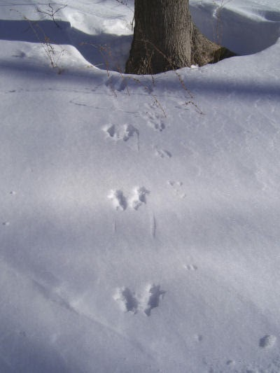 squirrel tracks to tree