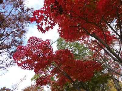 王仁公園・秋の紅葉ウォーキング 紅色のモミジ