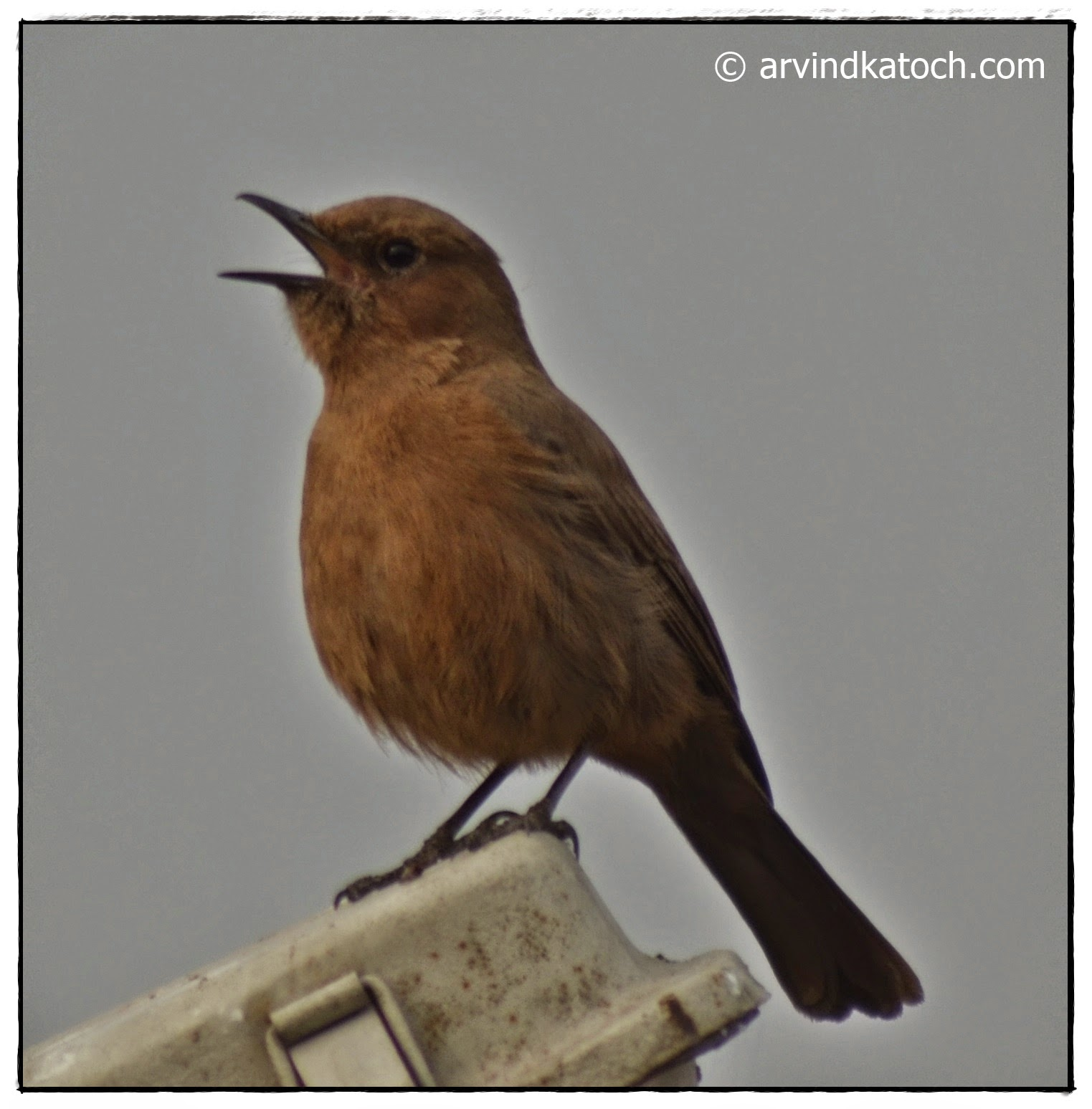 indian birds photography and details brown rock indian chat