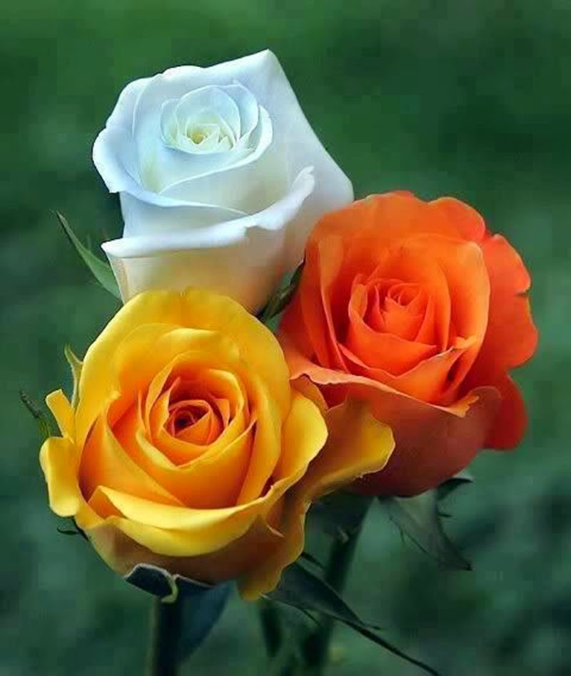Free Cool Rose Flowers Images Wallpapers Online HD Pictures