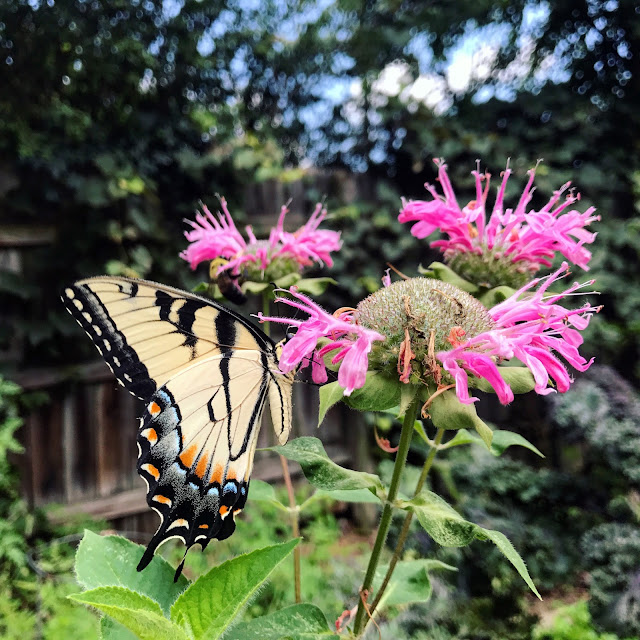 Eastern Tiger Swallowtail Bee Balm Flower