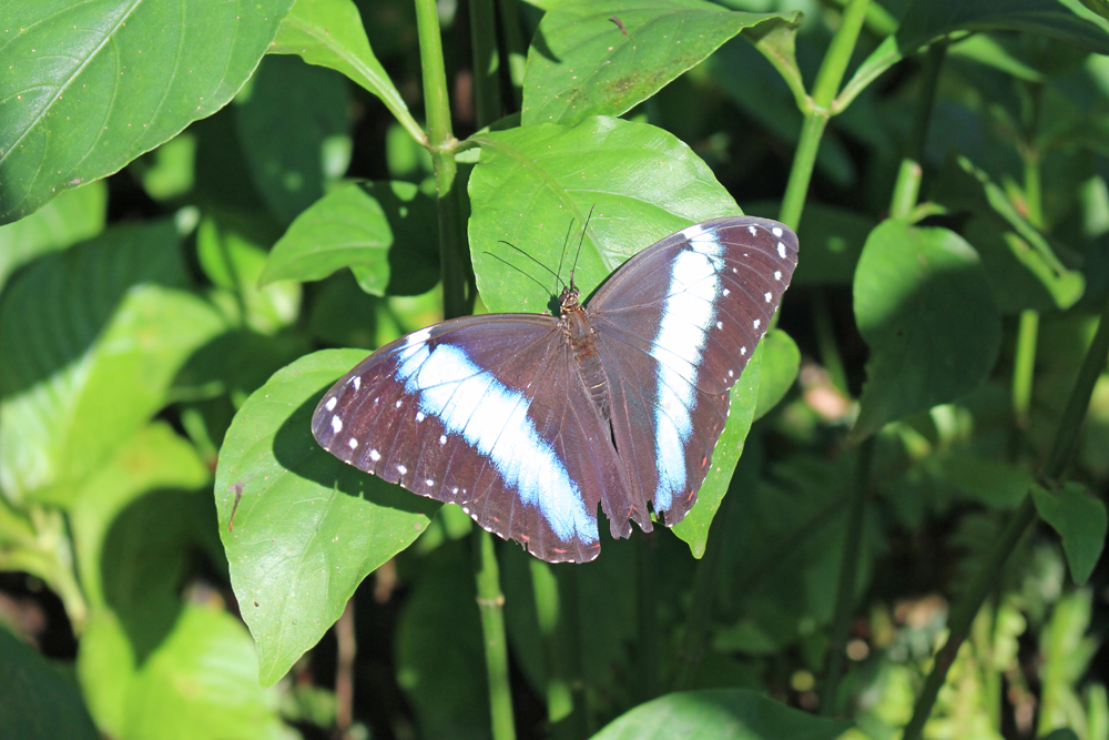 Black and blue butterfly in the Amazon, Peru - travel & lifestyle blog