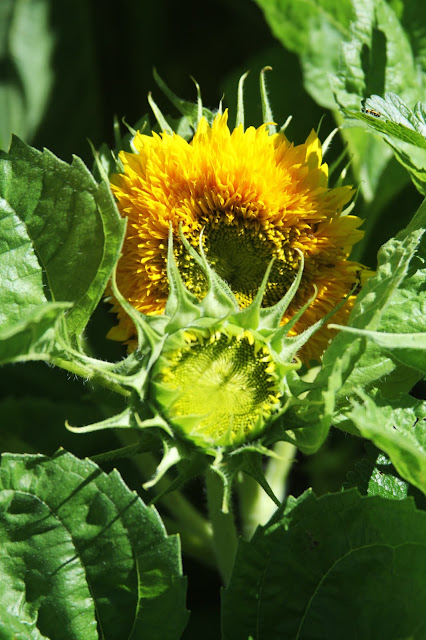 garden, summer, sunflowers, Teddy Bear Sunflowers, Anne Butera, My Giant Strawberry