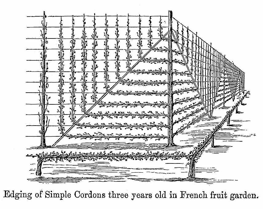 1869 garden cordons, trained plants