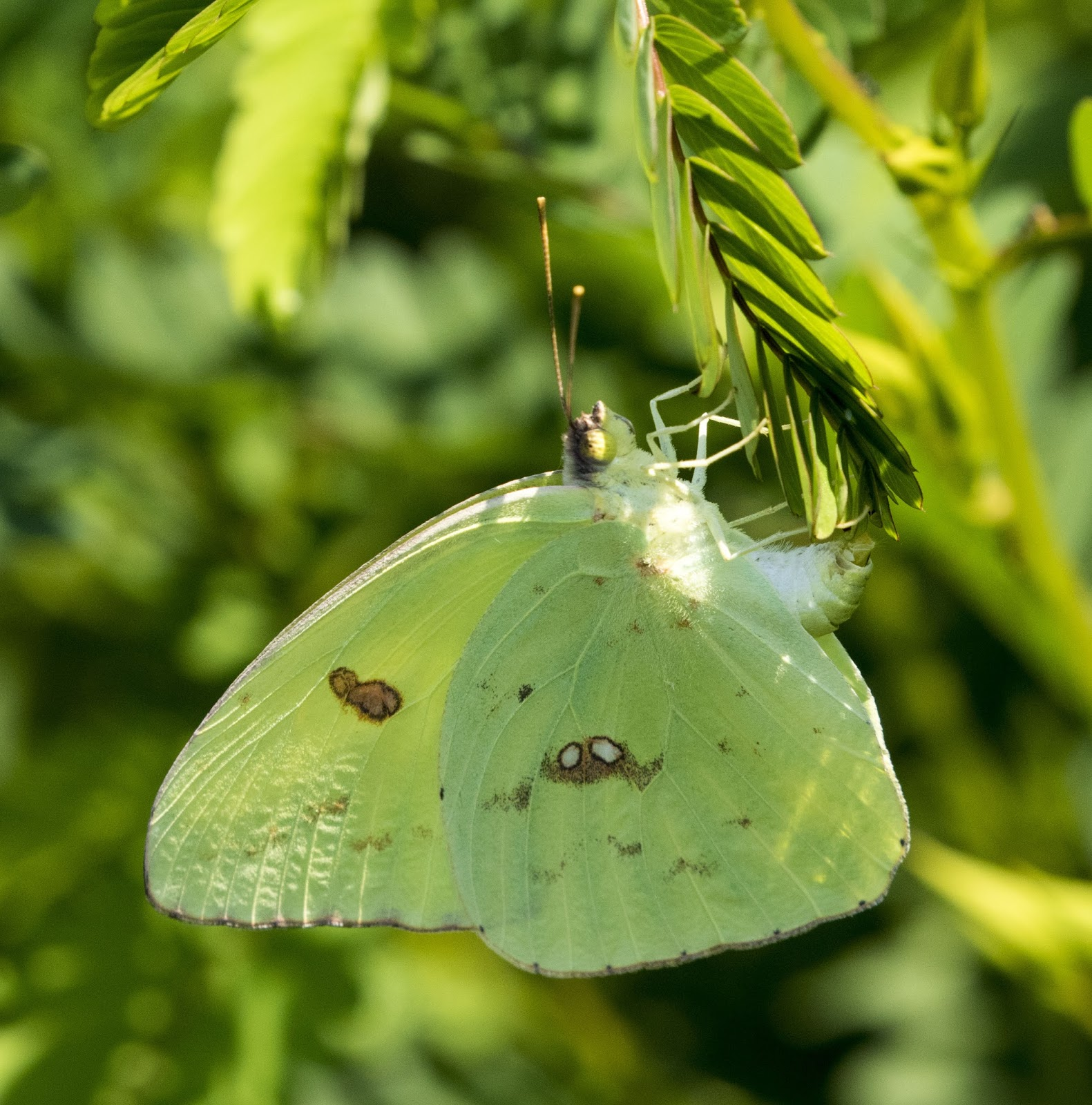 Colias philodice - Wikipedia |Clouded Sulphur Butterfly
