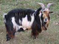 5 jenis kambing yang berasal dari luar negri yang jarang diketahui orang