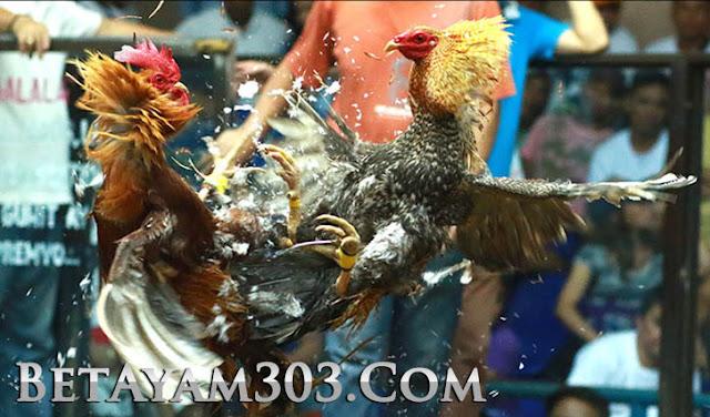 Sv388, Daftar Sv388, Sabung Ayam Sv388