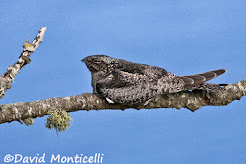 Common nighthawk, October 2008