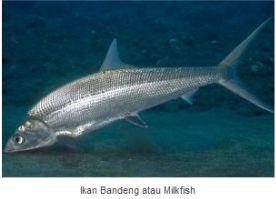 Ikan Bandeng atau Milkfish
