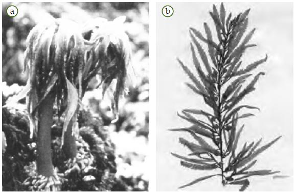 Gambar Ppt Alga  Chondrus Crispus 11 Contoh Gambar Coklat