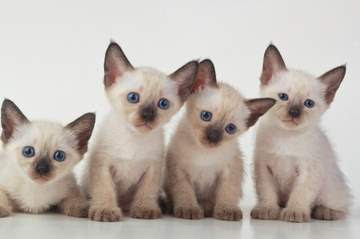 Siamese kittens in Singapore
