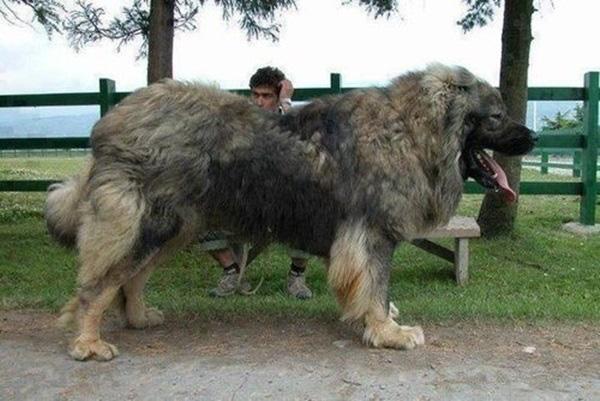 19 chú chó to xác nhưng hiền lành như cục đất