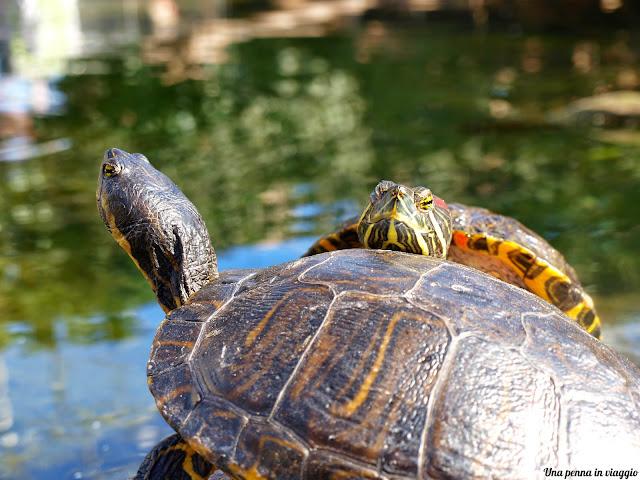 foto tartarughe