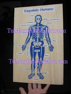 maqueta del sistema oseo humano en relieve sobre triplay