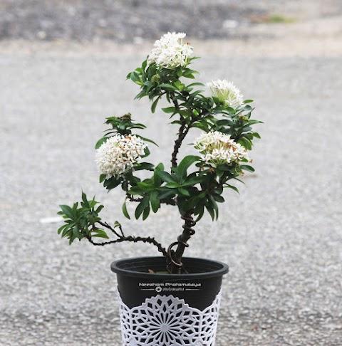 Pokok Bunga Jejarum Putih atau White Ixora