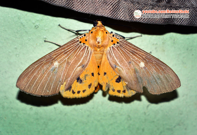 The beautiful cause of my sinusitis? This lovely moth...