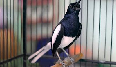 Cara Rawatan Burung Kacer Tipe Panas Dan Tipe Dingin Yang Baik Dan Benar