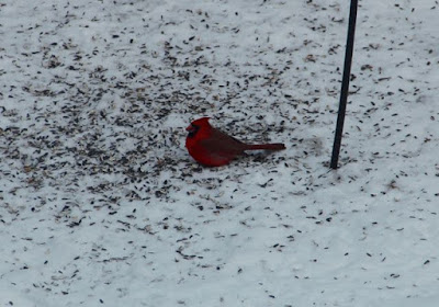 male Cardinal under the front feeder yesterday afternoon