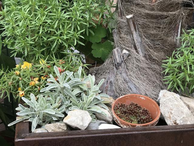 griechischer Bergtee, Sempervivum, Mittagsblume und Bohnenkraut am Fuße der Palme (c) by Joachim Wenk