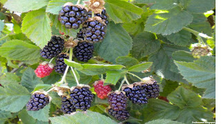 Olallieberry fruit images wallpaper