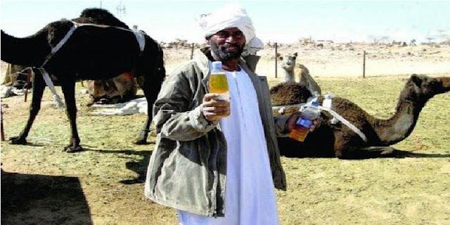 Benarkah Minum Pipis Onta Sunnah Nabi? Bolehkah Minum Pipis Onta Tiap Hari?