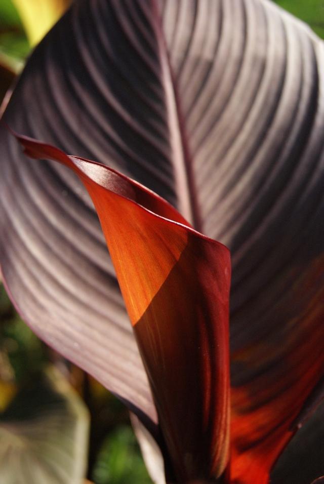 Canna tropicanna Blatt nah