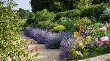 Nepeta en el jardín: siempre en buena compañía