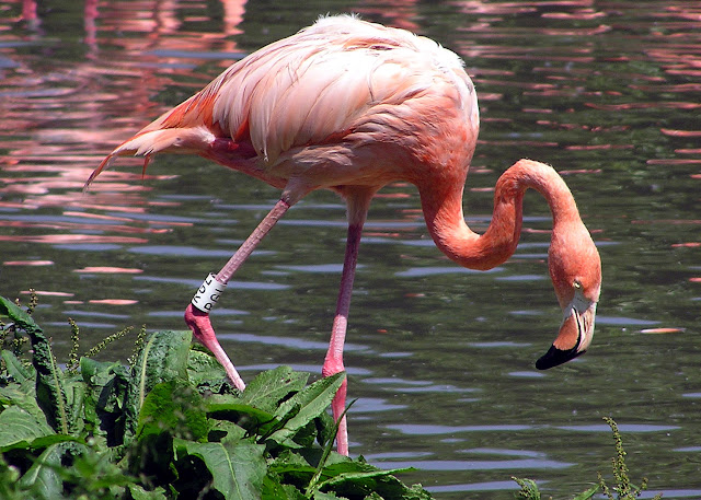 Flamingo facts and information 11
