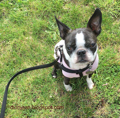 Sinead the Boston terrier on a walk
