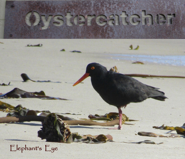 African Black Oystercatcher at Rocher Pan