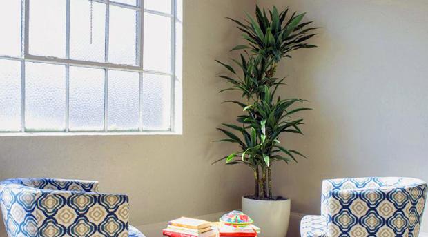 tanaman hias dracaena