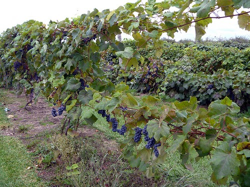 concord grapes how to grow
