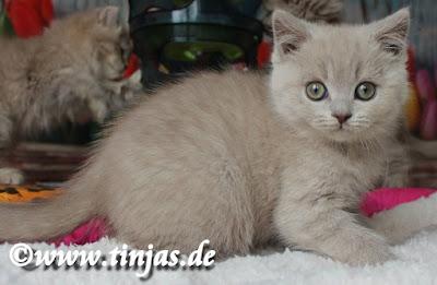 BKH Katzenbaby lilac 9 Wochen 2017 05 10 2