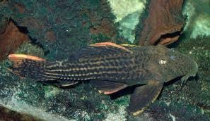 Ikan Sapu Sapu Scarlet pleco
