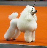 Poodle dog at show