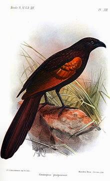 Cucal de la Sunda: Centropus nigrorufus