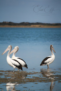 Pelicans Reflection in Sea Water Beach Coorong Murray Mouth Hindmarsh Island