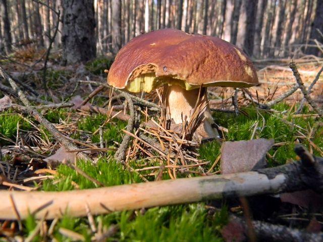 grzyby jadalne z polskich lasów