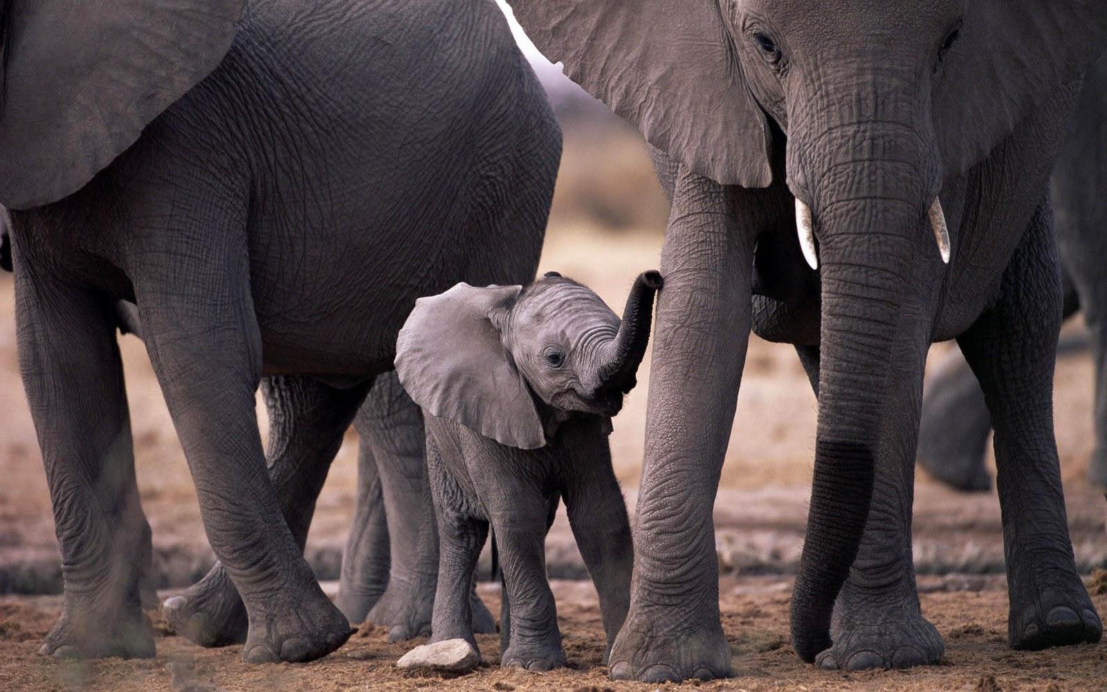 olifanten achtergronden bureaublad - photo #38